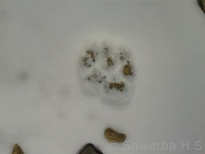 Pugmark of Snow Leopard